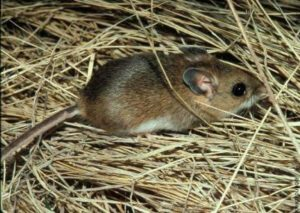 Deer mouse from http://m.extension.illinois.edu/wildlife/directory_show.cfm?species=mice