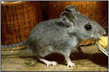 http://m.extension.illinois.edu/wildlife/directory_show.cfm?species=mice